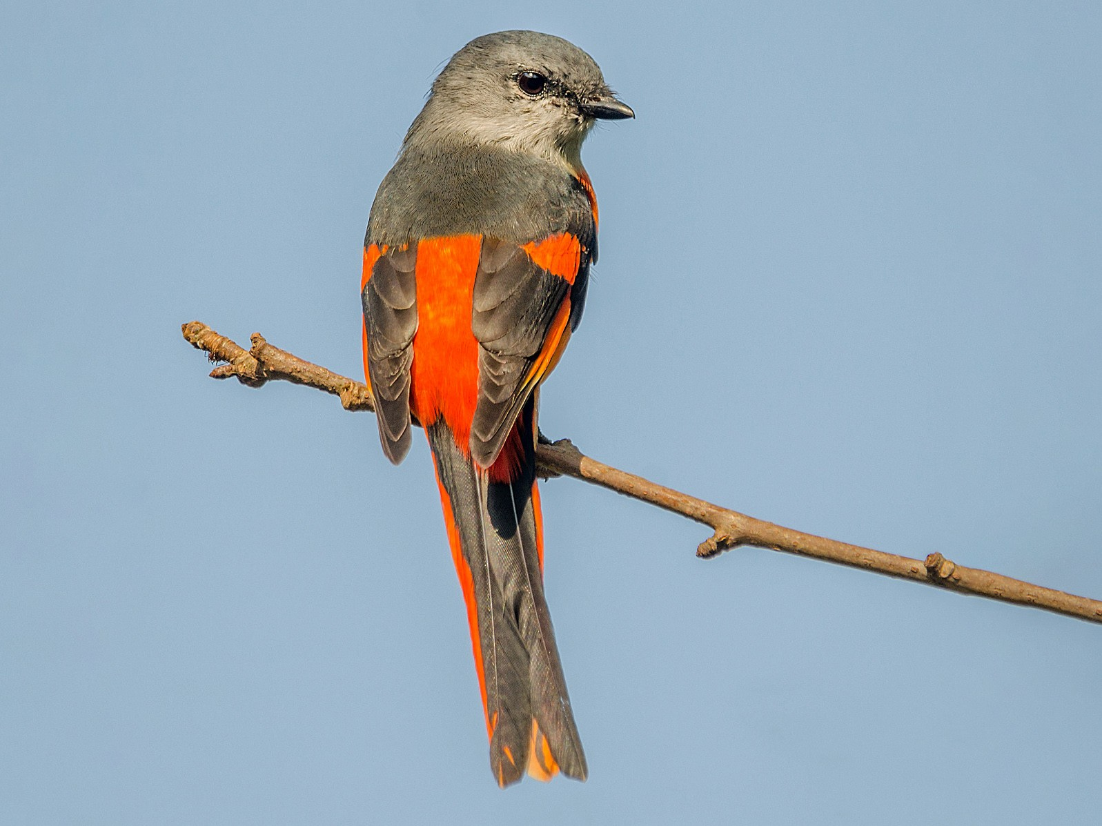 Gray-chinned Minivet - John Clough