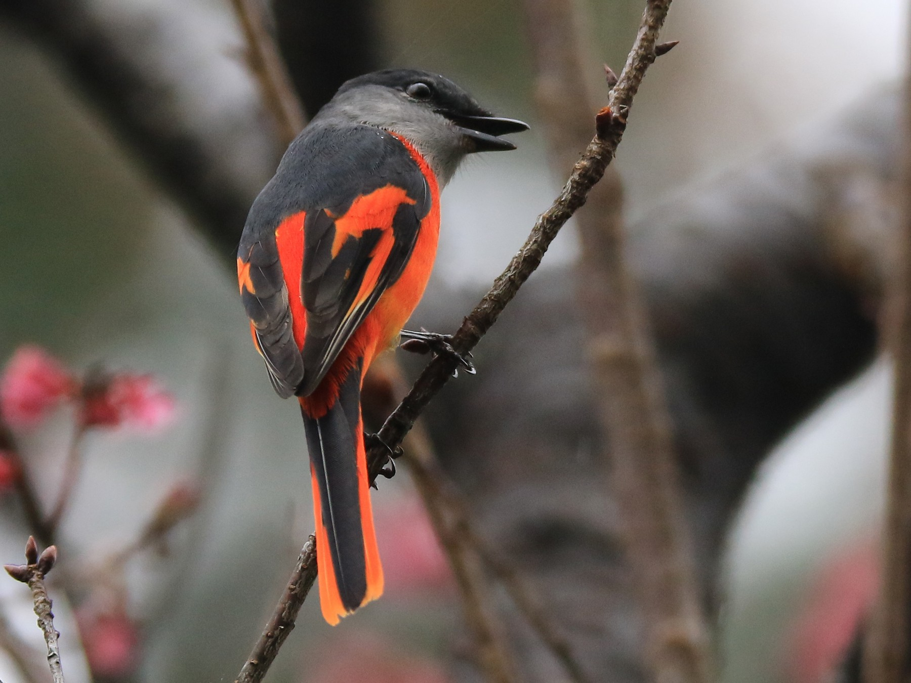 Gray-chinned Minivet - Allen Lyu