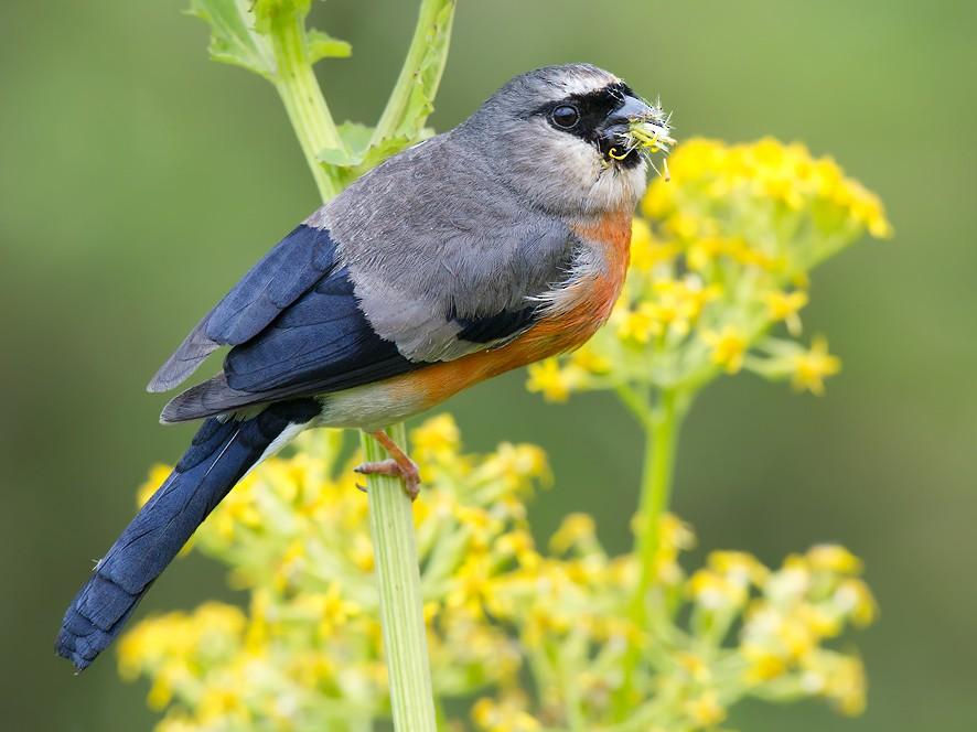 Gray-headed Bullfinch - Craig Brelsford