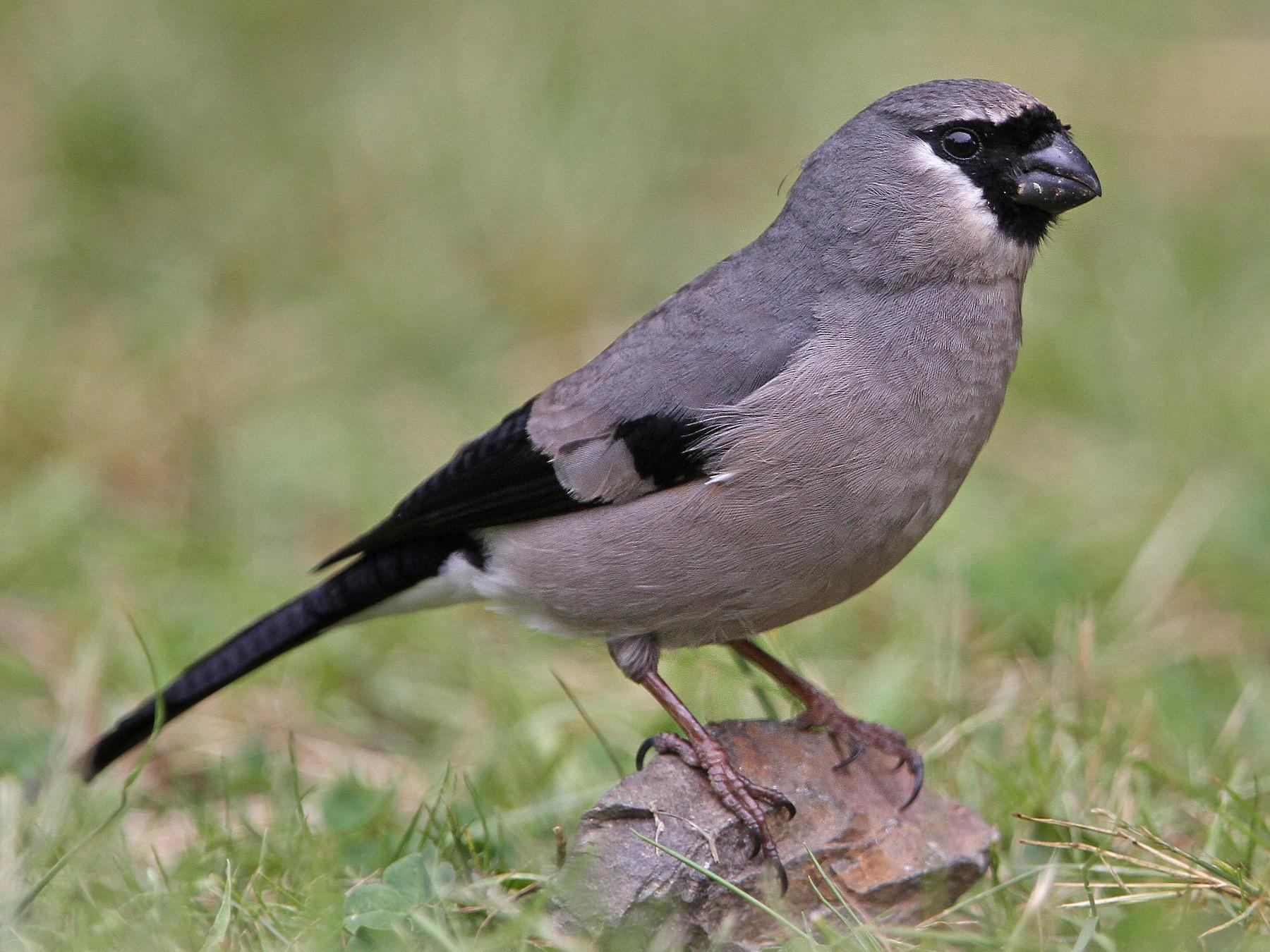 Gray-headed Bullfinch - Christoph Moning