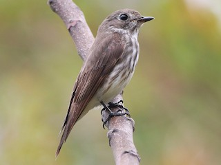 - Gray-streaked Flycatcher