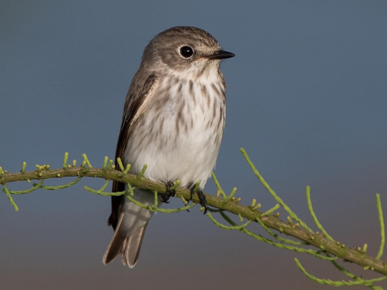Gray-streaked Flycatcher - Kai Pflug