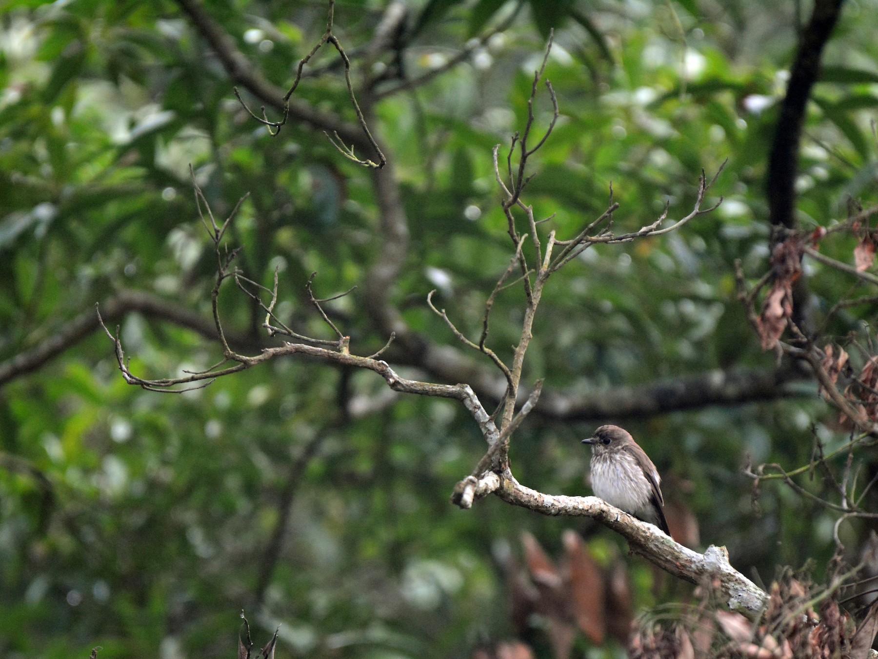 Gray-streaked Flycatcher - Jhih-Wei (志偉) TSAI (蔡)