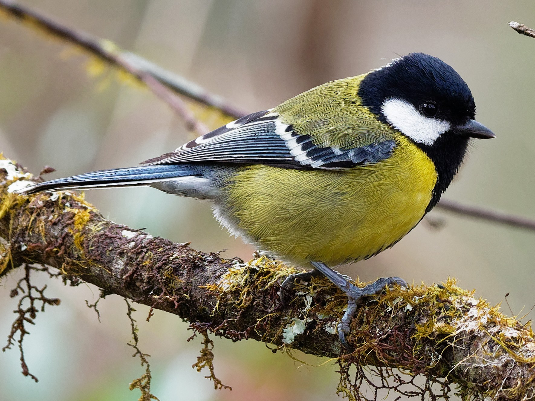 Green-backed Tit - Vincent Wang