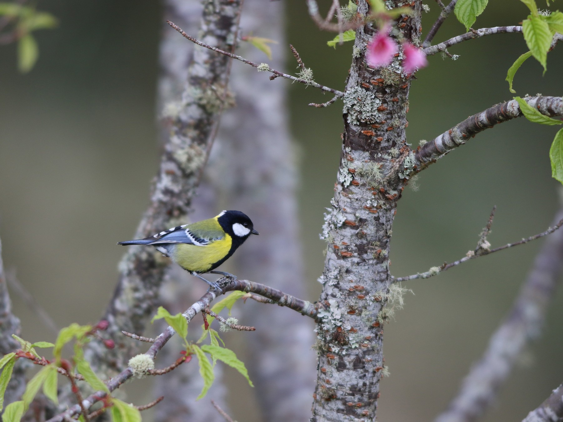 Green-backed Tit - 舜昌 蕭