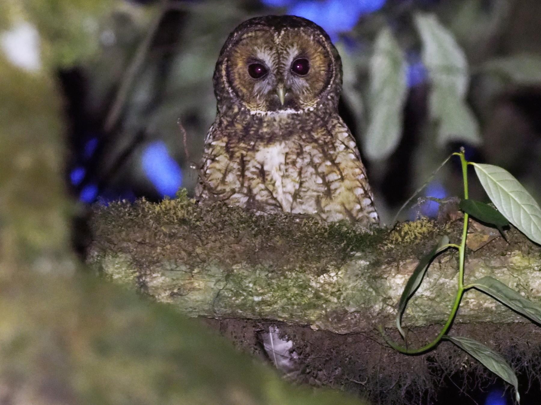 Himalayan Owl - Stephan Lorenz