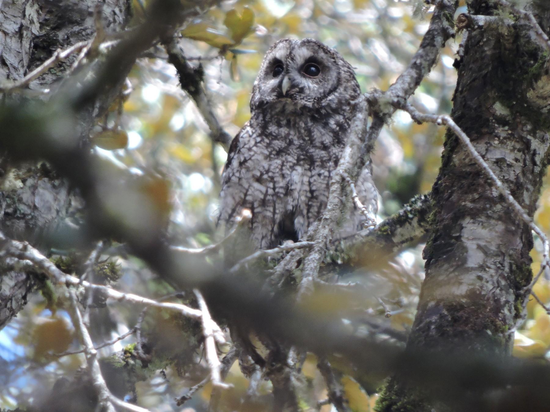 Himalayan Owl - Mahathi Narayanaswamy