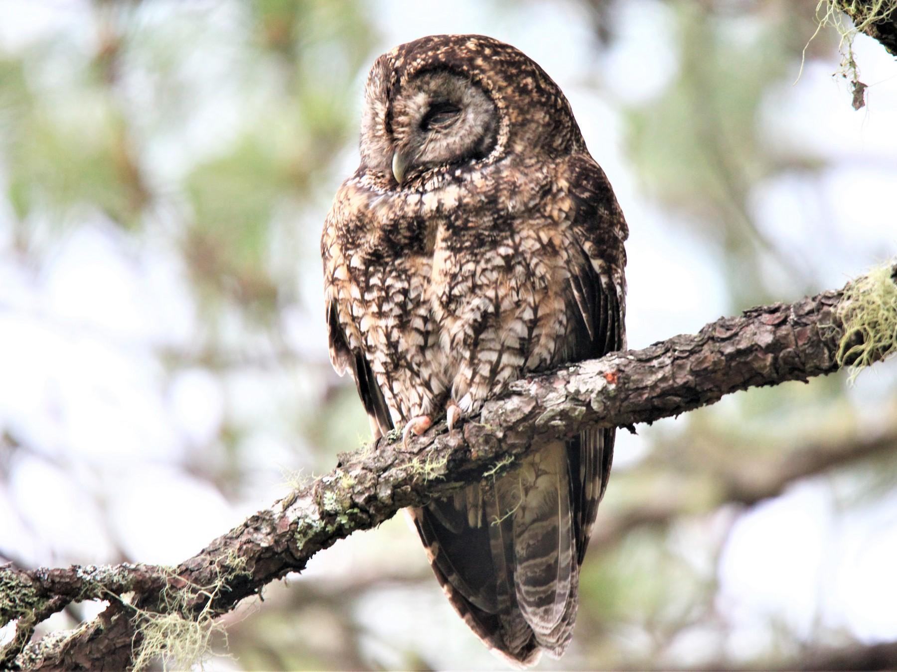 Himalayan Owl - 尤 俊華