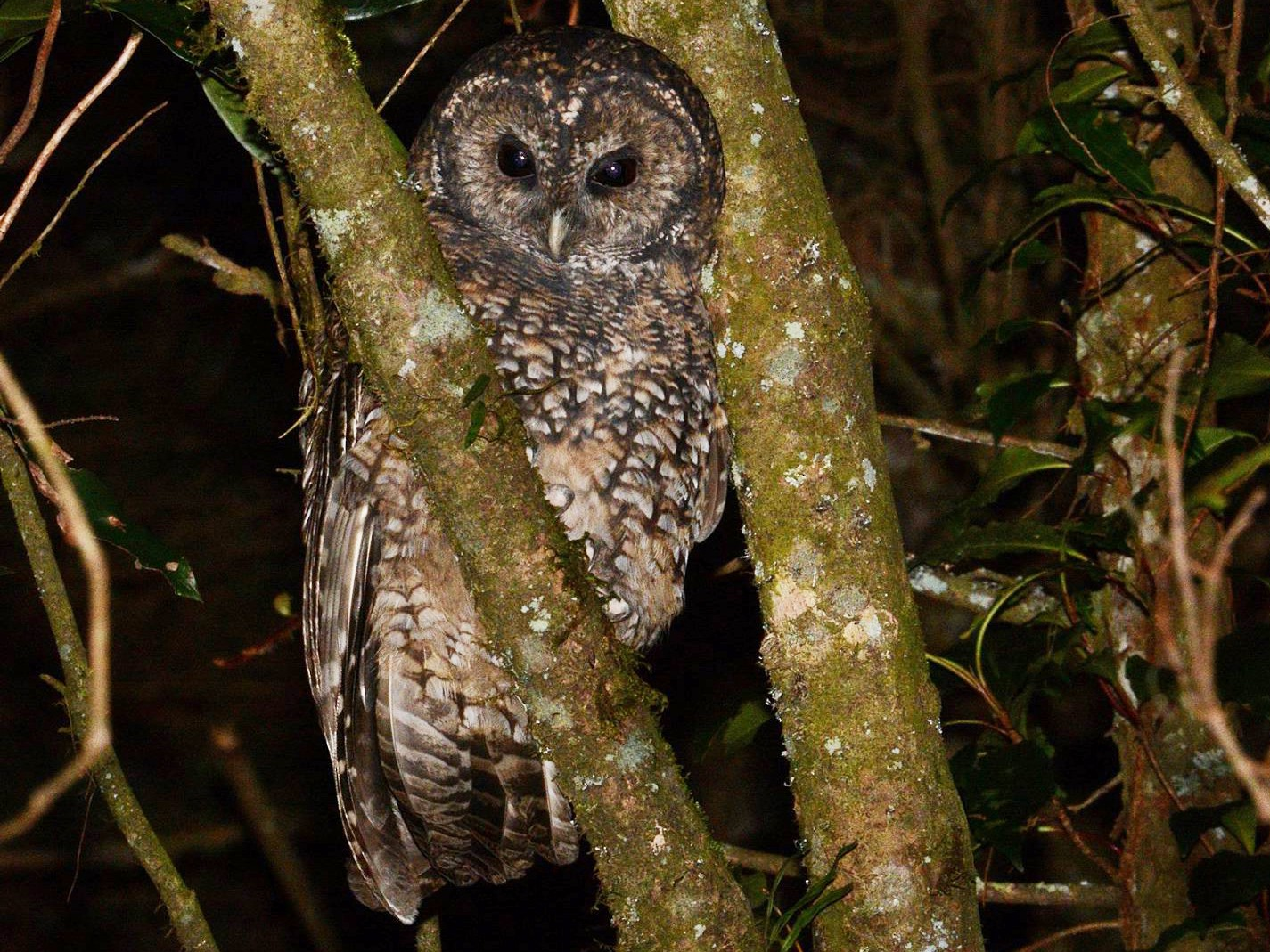 Himalayan Owl - camake OD
