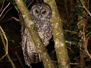 - Himalayan Owl