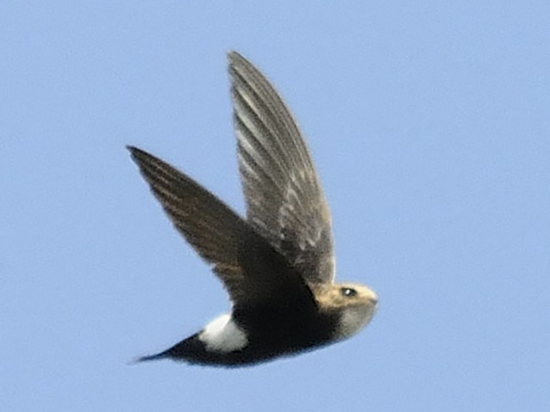 House Swift - Anonymous eBirder