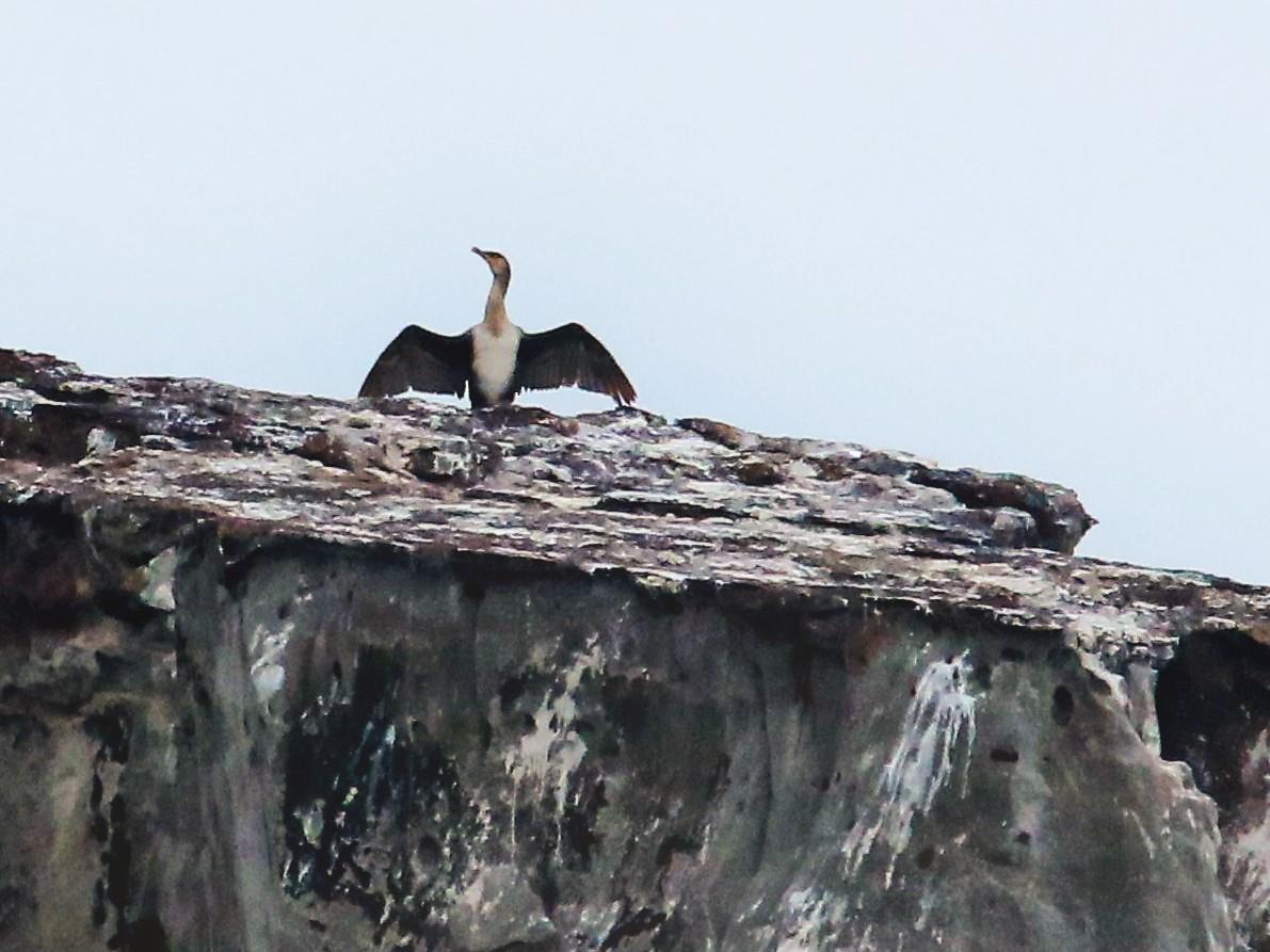Japanese Cormorant - poshien chien
