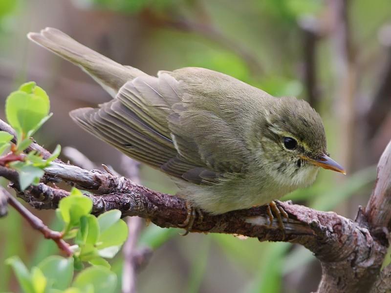 Japanese Leaf Warbler - Lasse Olsson