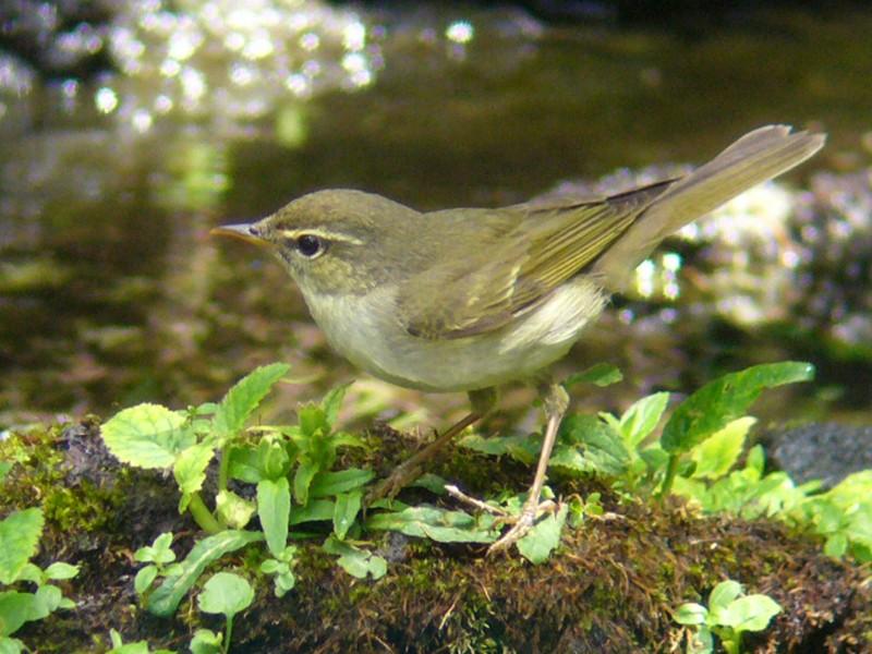 Japanese Leaf Warbler - Tomohiro Iuchi