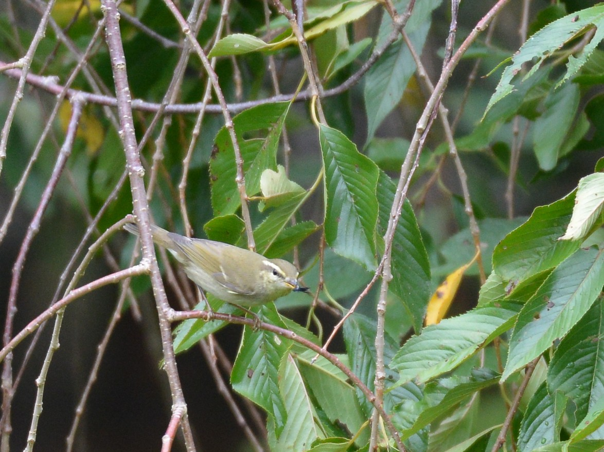 Japanese Leaf Warbler - Henrik Thorlund