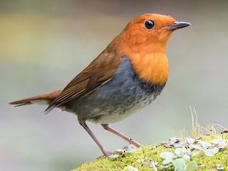 - Japanese Robin