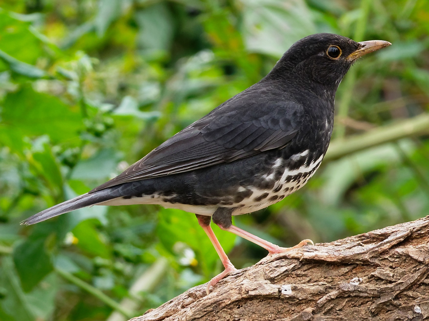 Japanese Thrush - Vincent Wang