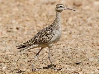 - Little Curlew