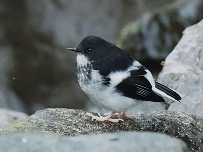 Little Forktail - Scott (瑞興) LIN(林)