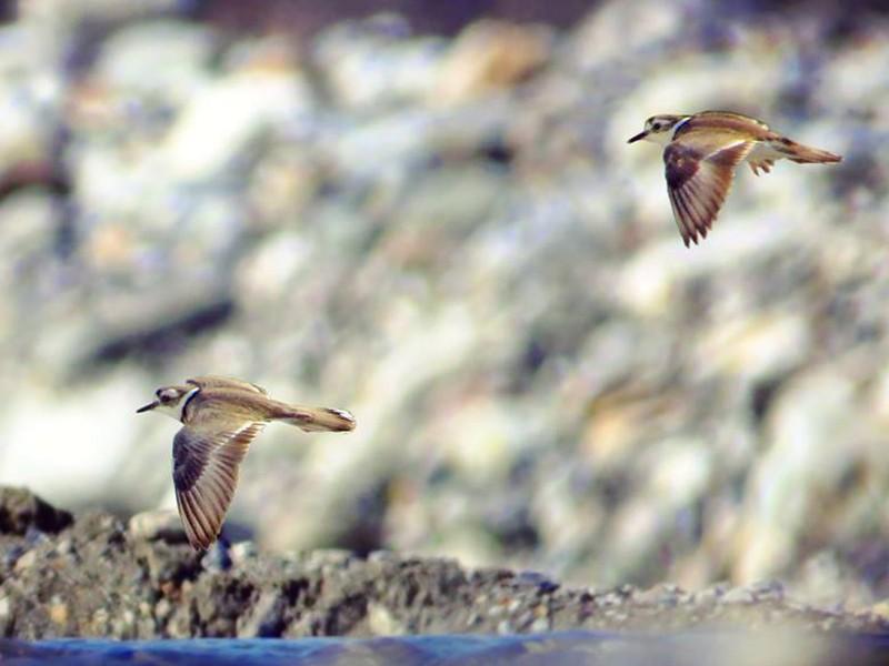 Long-billed Plover - Rajdeep Mitra