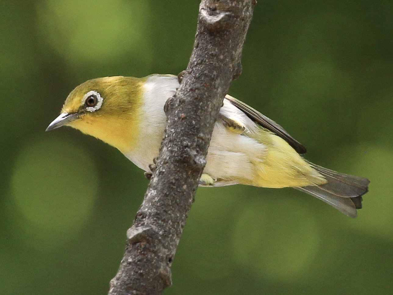 Lowland White-eye - Tommy Pedersen