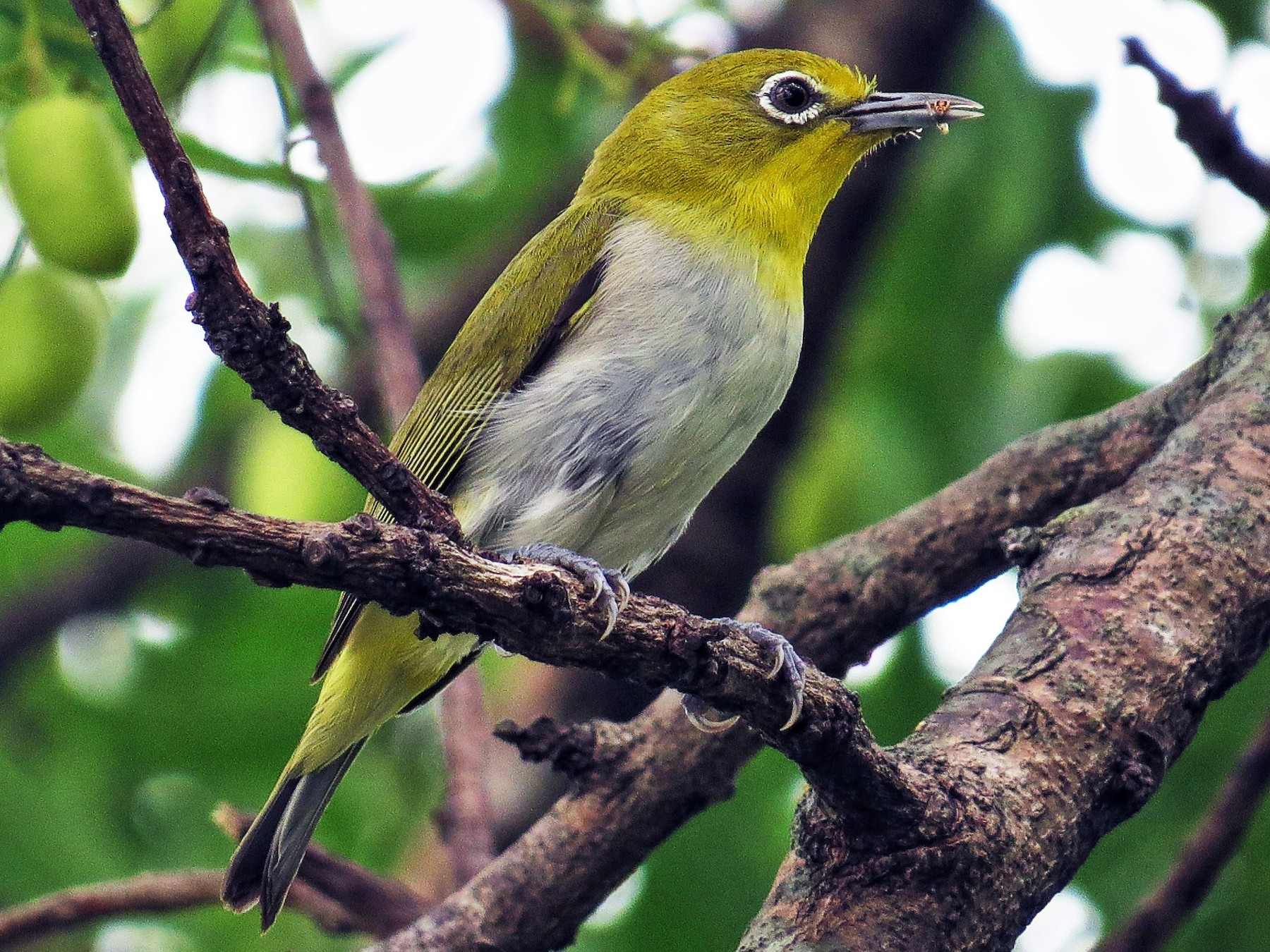 Lowland White-eye - George Inocencio