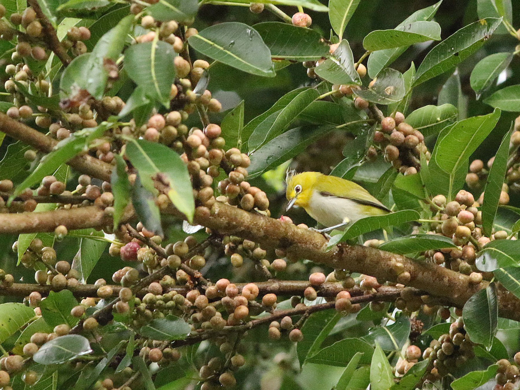 Lowland White-eye - Meng-Chieh (孟婕) FENG (馮)