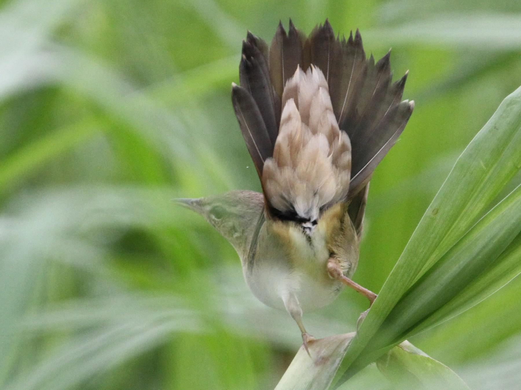 Middendorff's Grasshopper-Warbler - Simon Lloyd