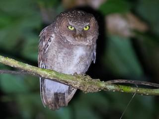 - Mountain Scops-Owl