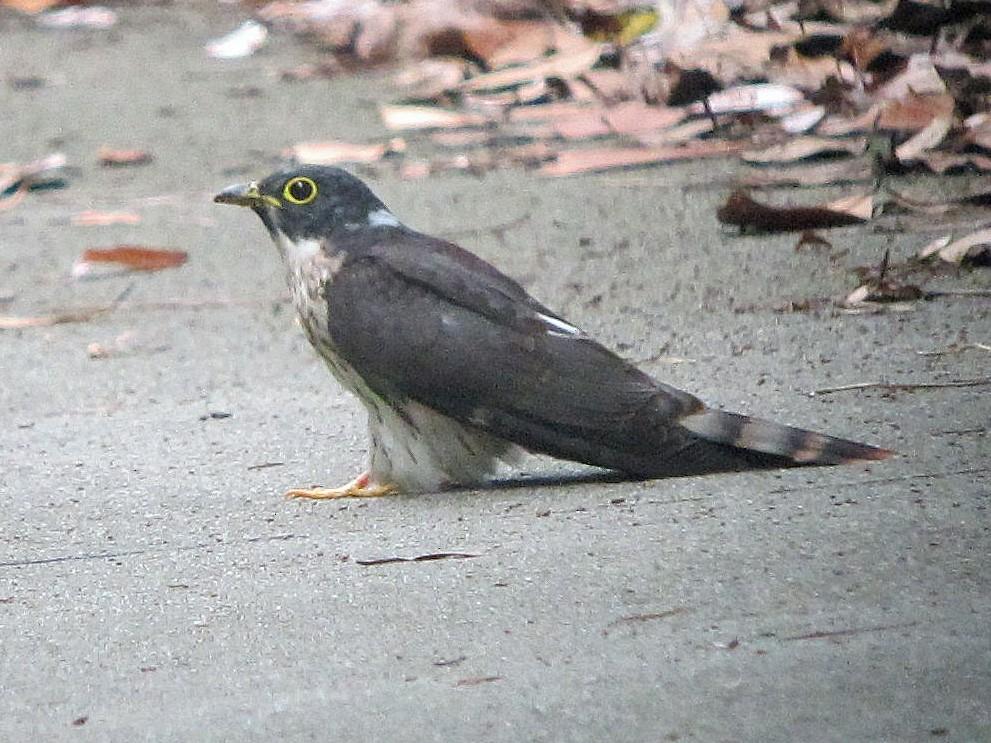 Northern Hawk-Cuckoo - Brian Daniels