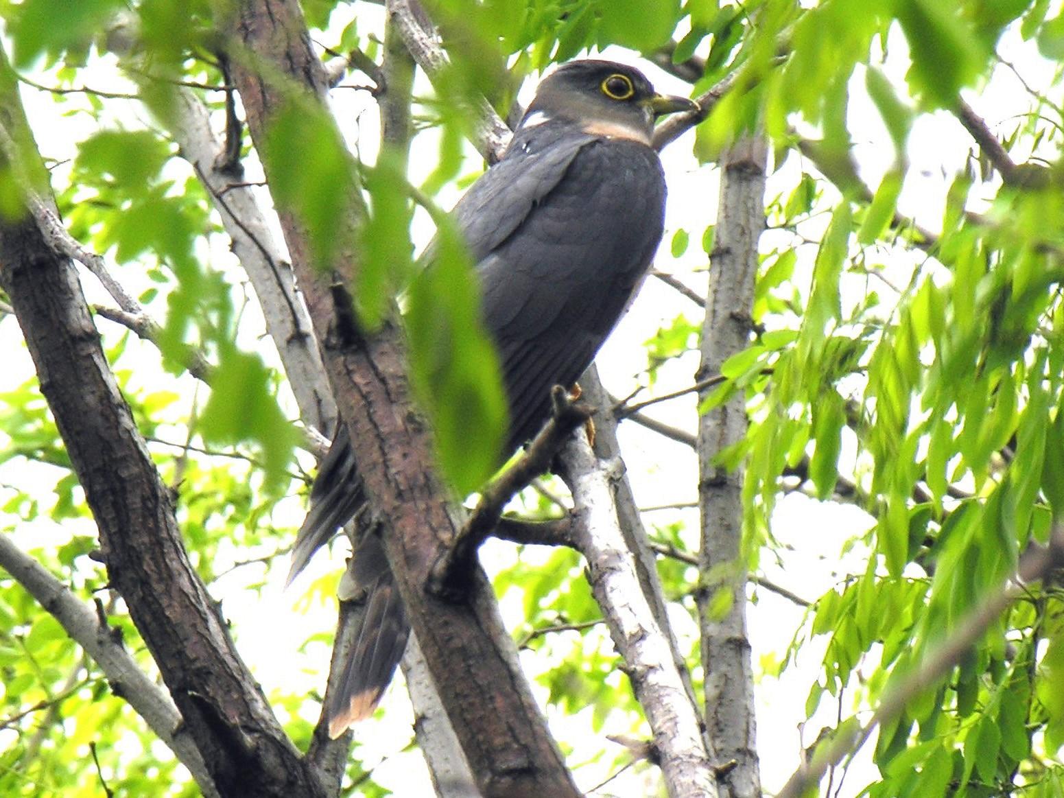 Northern Hawk-Cuckoo - Steve Bale