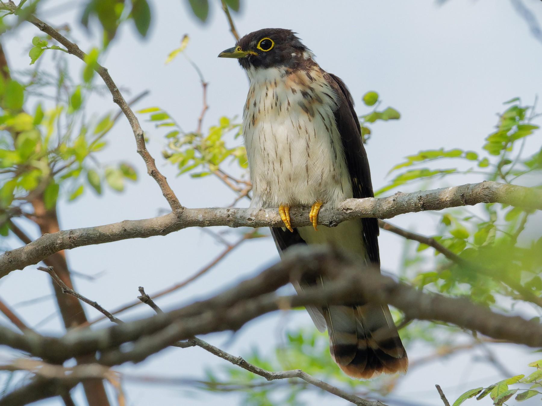 Northern Hawk-Cuckoo - Vincent Wang