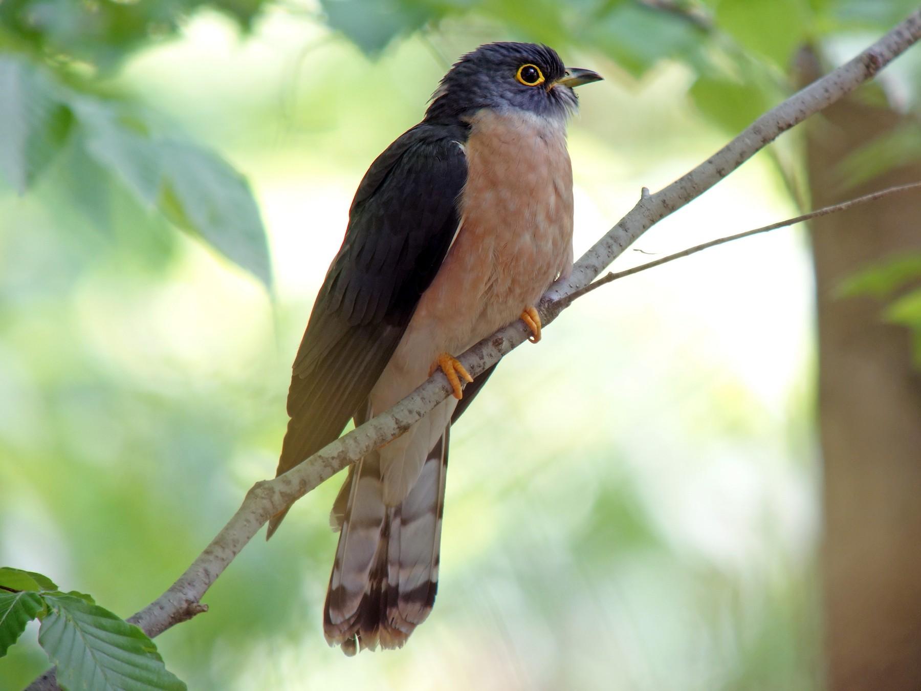 Northern Hawk-Cuckoo - Tomohiro Iuchi