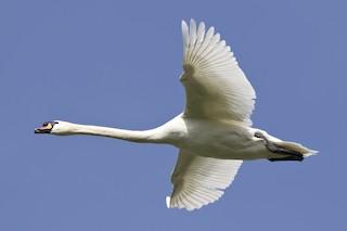 Mute Swan, ML158786091