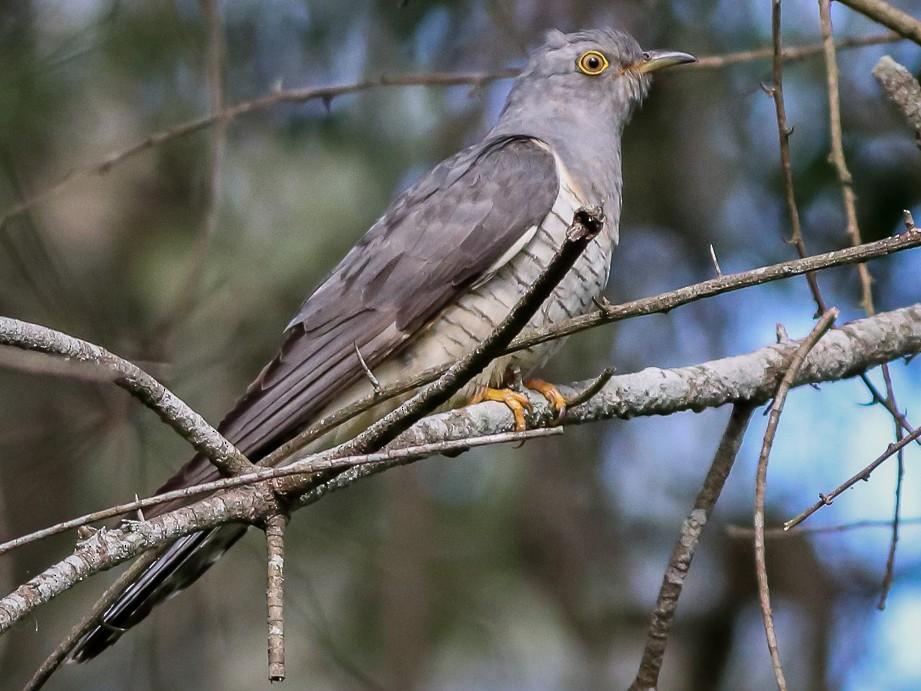 Oriental Cuckoo - Ged Tranter