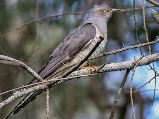 - Oriental Cuckoo