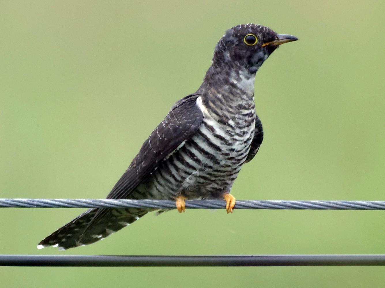 Oriental Cuckoo - Vincent Wang