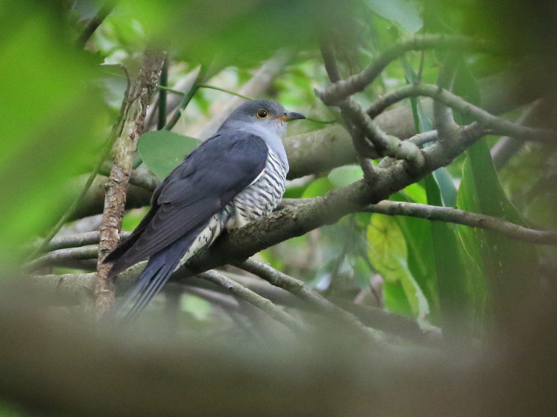 Oriental Cuckoo - Ko Cheng