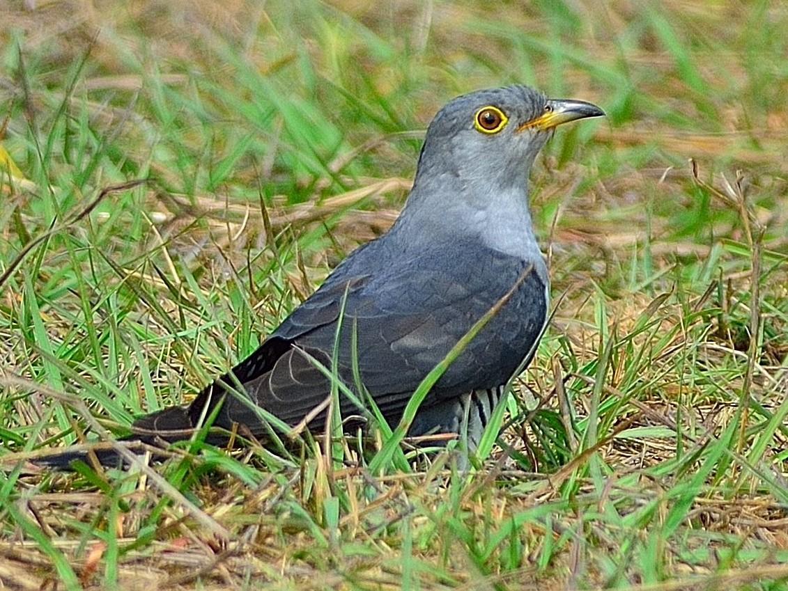 Oriental Cuckoo - Wbird Tsai