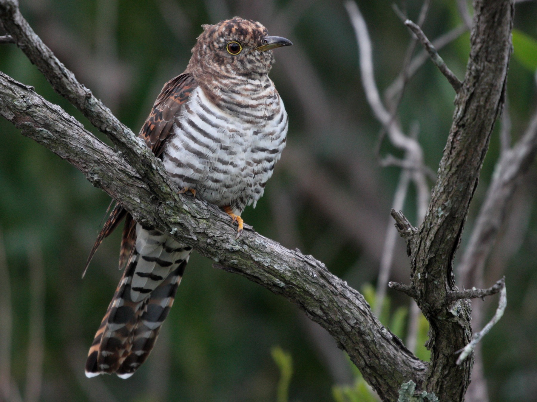 Oriental Cuckoo - Corey Callaghan