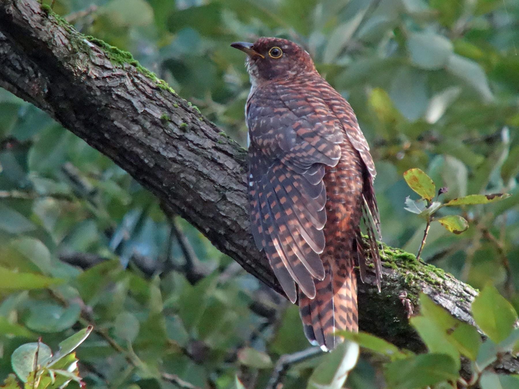 Oriental Cuckoo - Tomohiro Iuchi