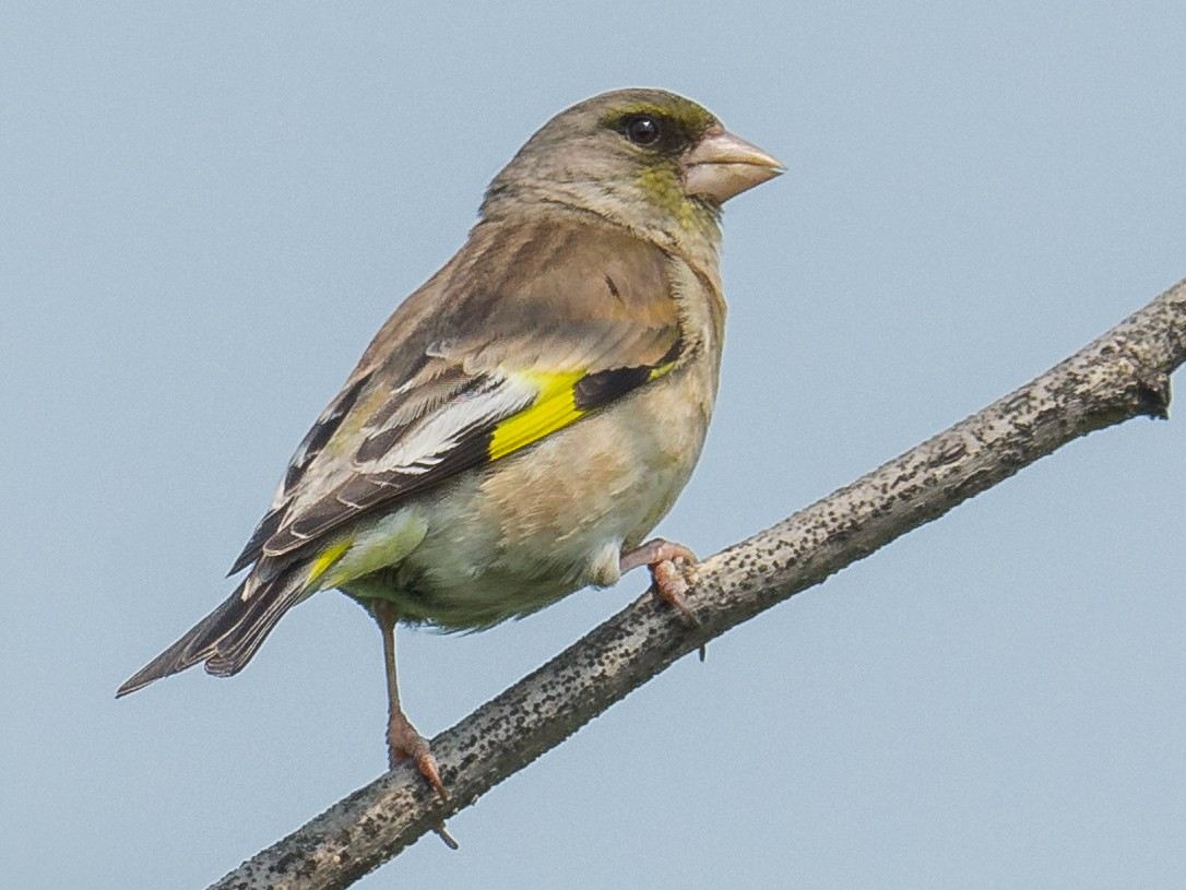 Oriental Greenfinch - Jeff Bleam