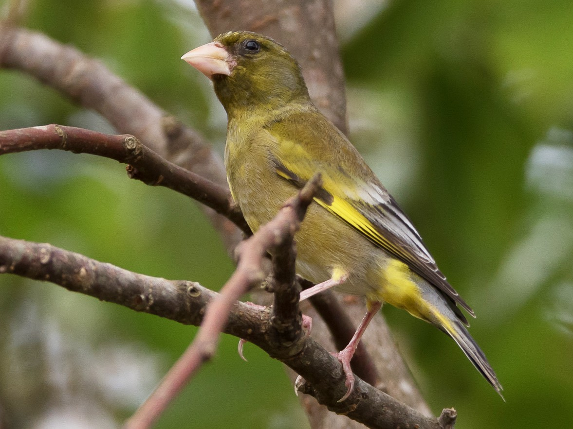 Oriental Greenfinch - Kasia & Takashi Someya