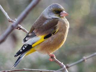 - Oriental Greenfinch