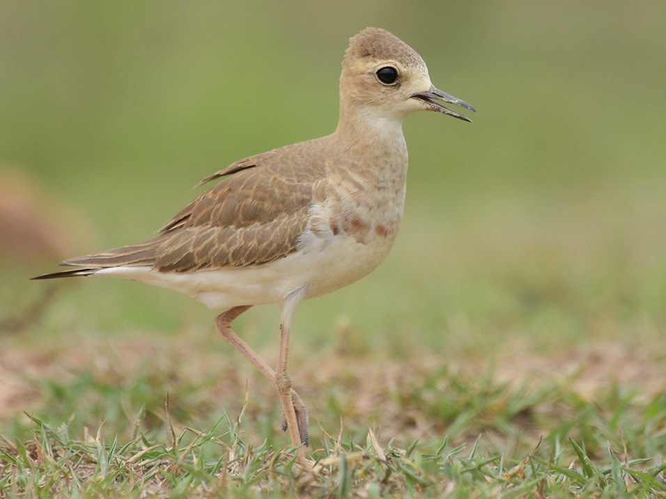 Oriental Plover - Supaporn Teamwong