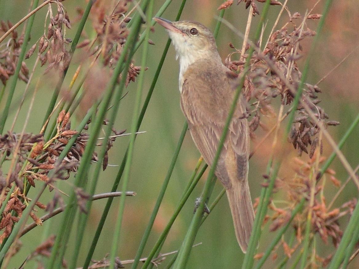 Oriental Reed Warbler - Sachin Shurpali