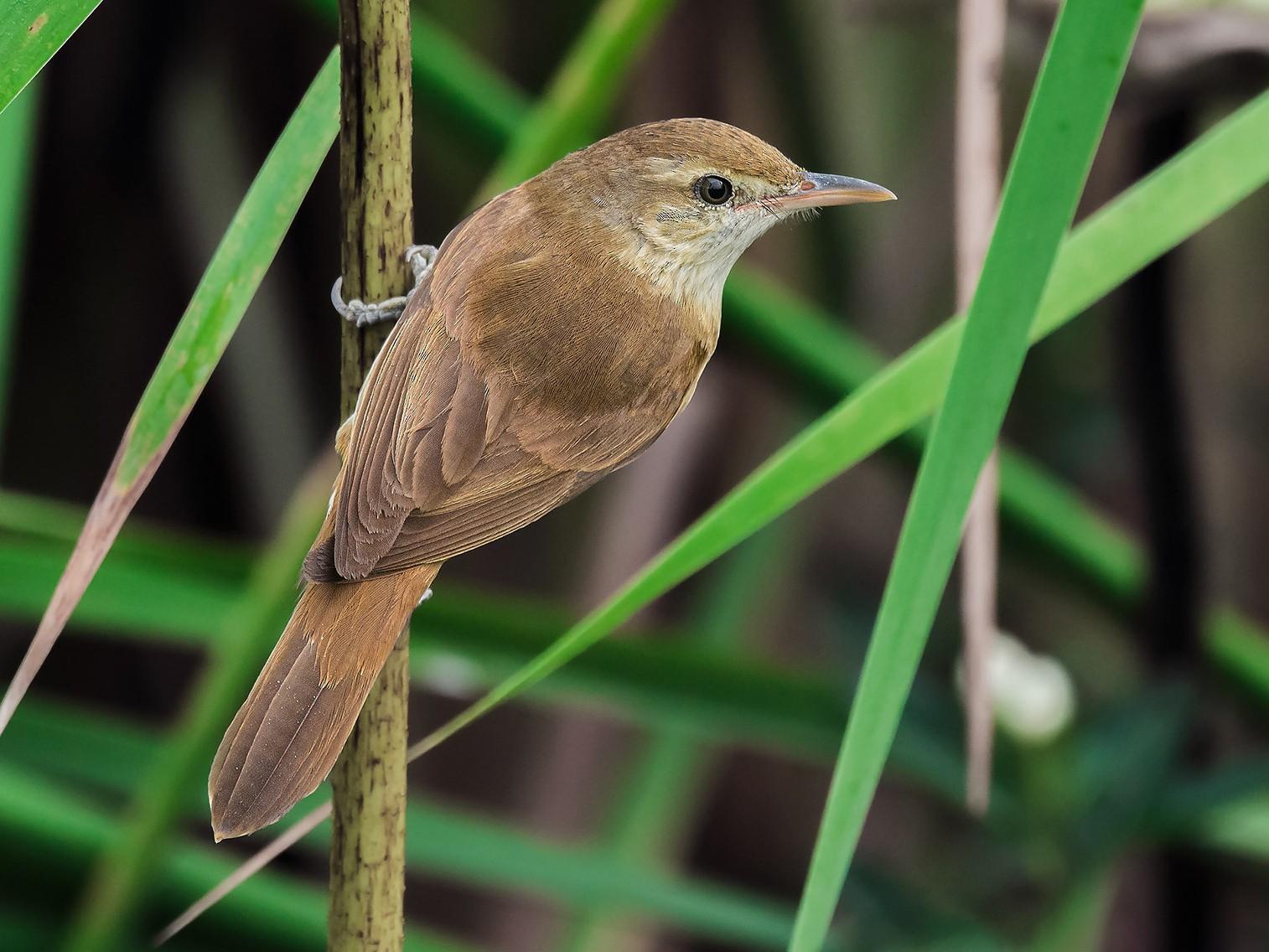 Oriental Reed Warbler - Natthaphat Chotjuckdikul