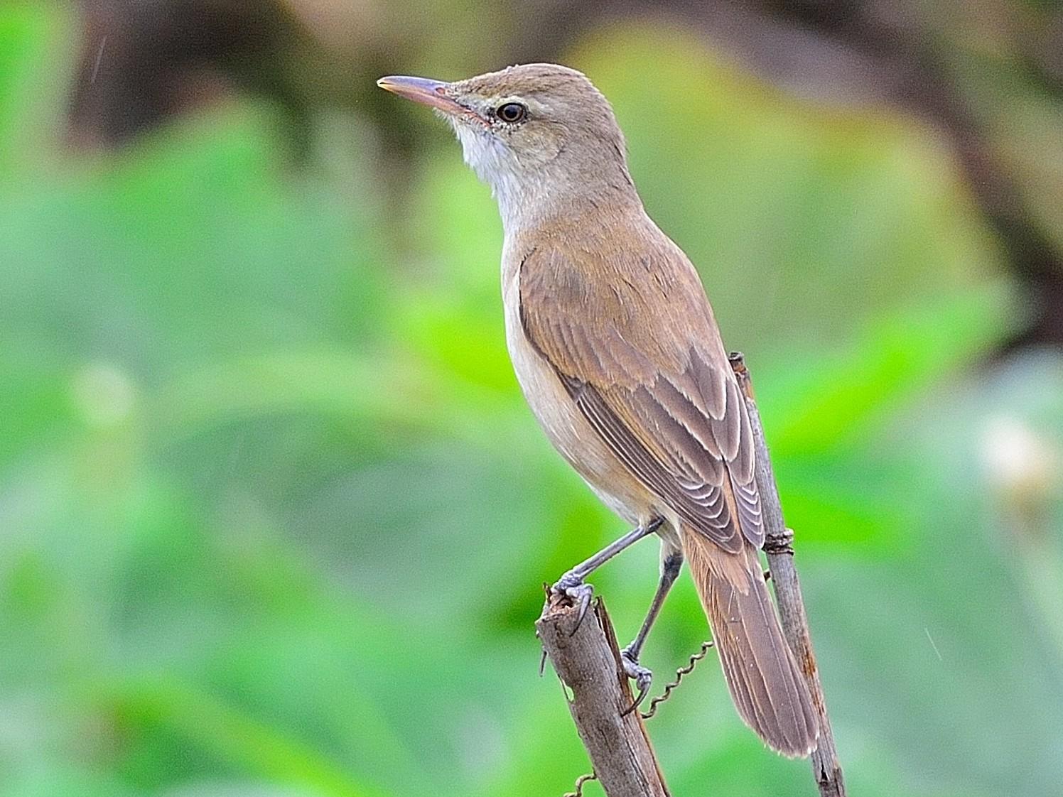 Oriental Reed Warbler - Wbird Tsai