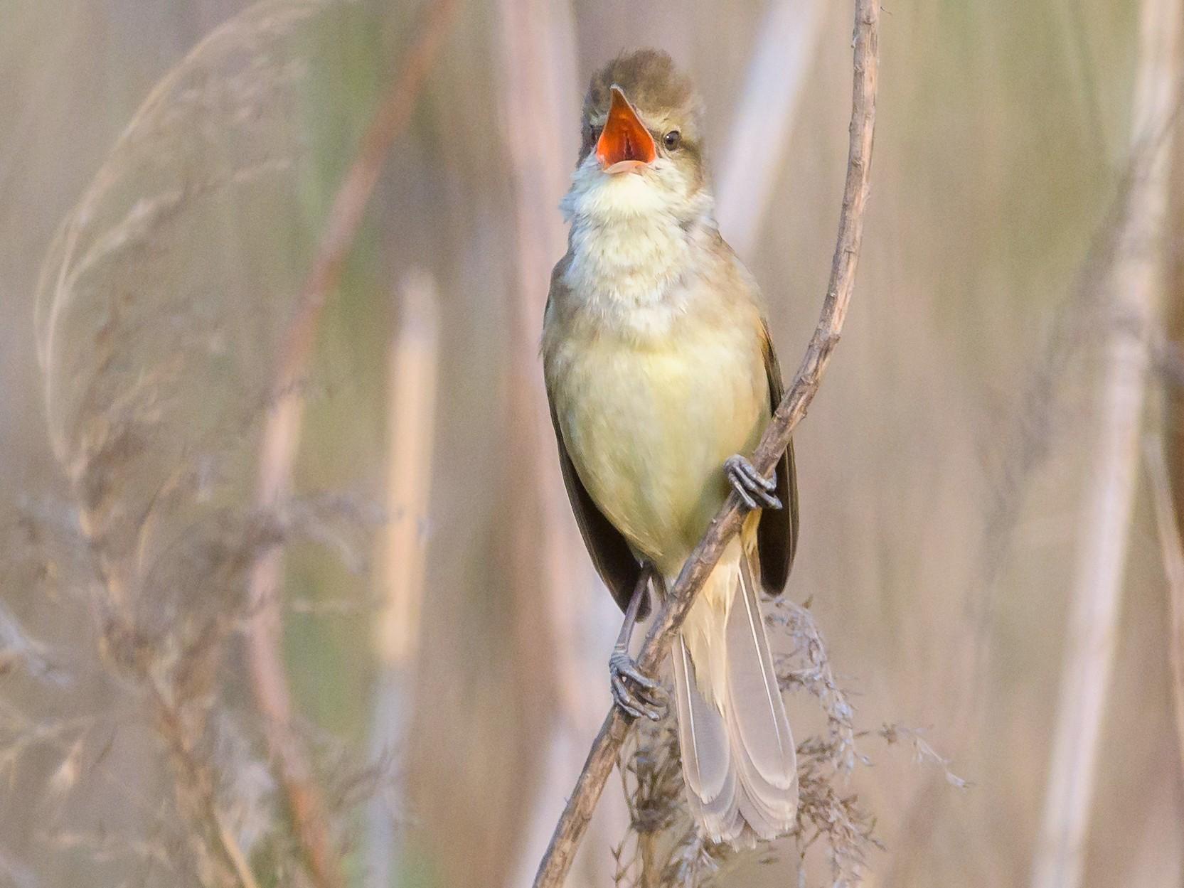 Oriental Reed Warbler - Charles Wu
