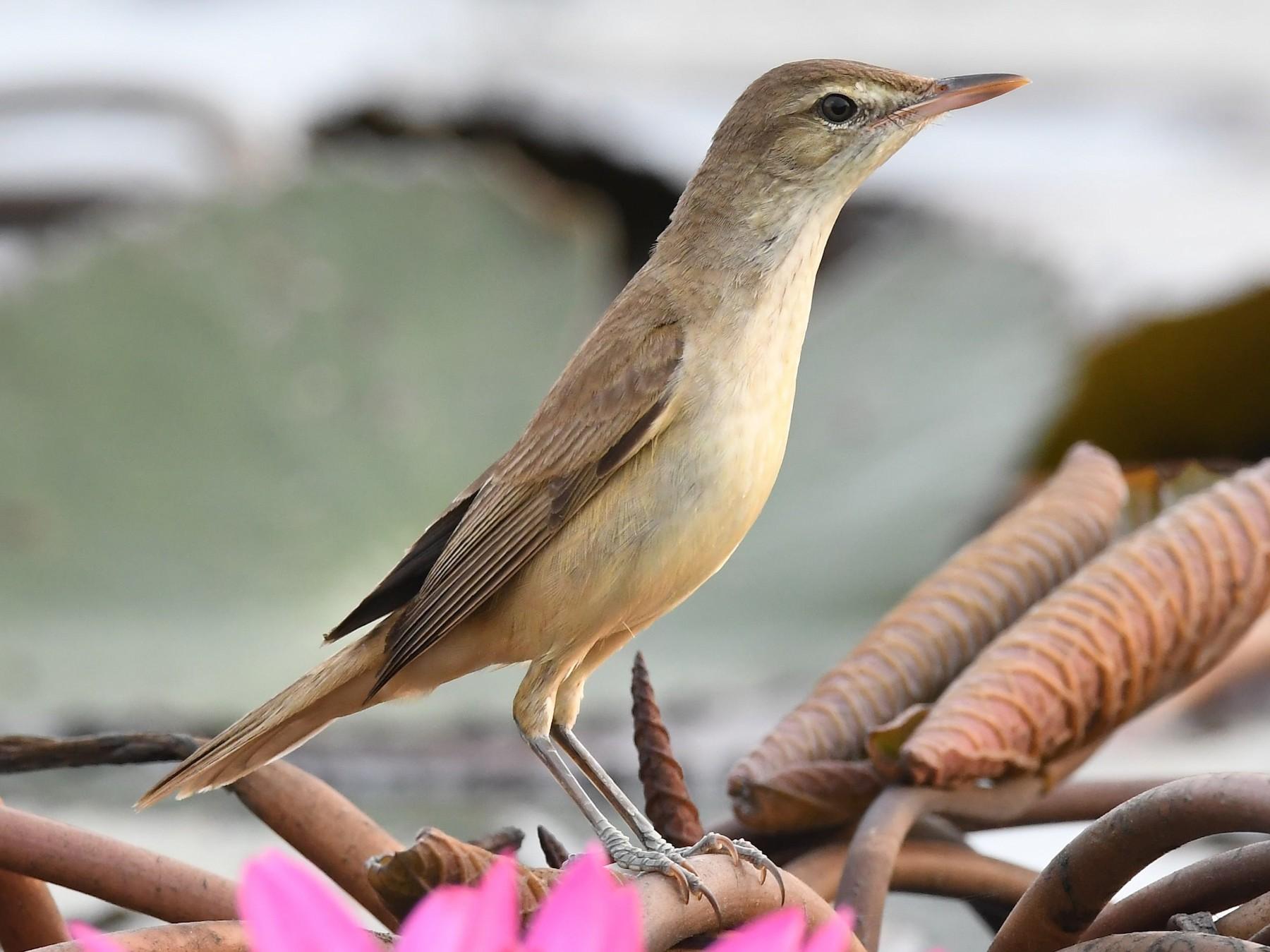 Oriental Reed Warbler - Sriram Reddy